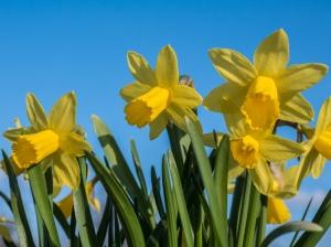 Narcis - Wikipedia
